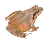 青蛙(蛙属dybowskii) 17 免版税库存图片