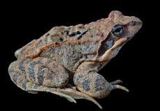 青蛙(蛙属dybowskii) 18 免版税库存照片