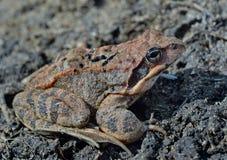 青蛙(蛙属dybowskii) 20 免版税图库摄影