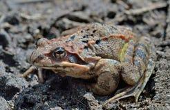 青蛙(蛙属dybowskii) 21 库存图片