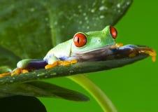 青蛙 图库摄影