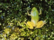 青蛙 免版税库存图片