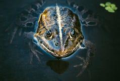 青蛙头 库存图片