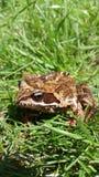青蛙 库存图片
