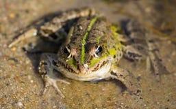 水青蛙 免版税库存图片