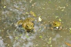 青蛙N. American公牛, (蛙属catesbeiana) 库存照片