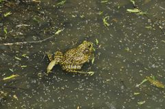青蛙N. American公牛, (蛙属catesbeiana) 库存图片