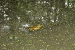 青蛙N. American公牛, (蛙属catesbeiana) 免版税库存图片