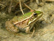 青蛙saharan水 图库摄影
