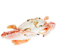 青蟹,隔绝在白色背景 图库摄影