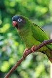青被加冠的长尾小鹦鹉、青被加冠的conure或者锋利被盯梢的conure 库存照片
