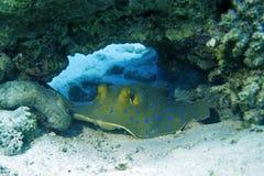 青被察觉的黄貂鱼 库存图片