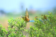 青被盯梢的食蜂鸟 图库摄影
