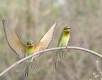 青被盯梢的食蜂鸟 免版税库存图片
