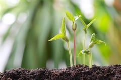 青豆在土壤发芽在菜园里并且有natu 免版税库存照片