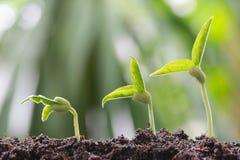 青豆在土壤发芽在菜园里并且有natu 库存图片