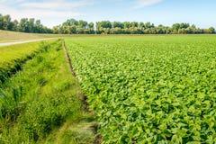年轻青豆植物在de Dutch开拓地环境美化 免版税图库摄影