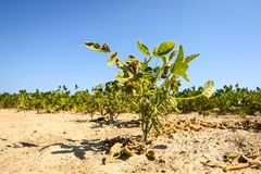 青豆的培养的领域 免版税图库摄影