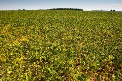 青豆的培养的领域 免版税库存图片