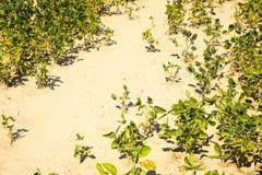 青豆的培养的领域 图库摄影