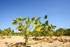 青豆的培养的领域 库存照片