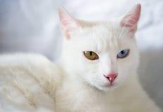 青金黄被注视的猫 免版税库存照片