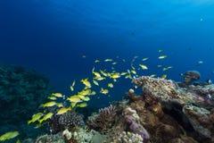 青镶边攫夺者在红海的热带水域中。 库存照片