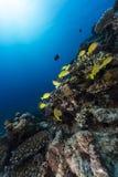 青镶边攫夺者在红海的热带水域中。 库存图片