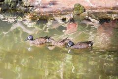 青飞过的小野鸭在池塘低头游泳 库存图片