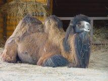 静卧的骆驼 库存照片