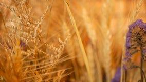 静物画耳朵特写镜头背景的 从谷物干燥金钉的花束  股票录像