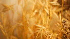 静物画耳朵特写镜头背景的 从谷物干燥金钉的花束  股票视频