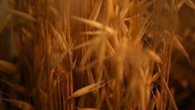 静物画耳朵特写镜头背景的 从谷物干燥金钉的花束  影视素材