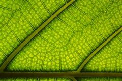 静脉和细胞被观看的一片水多的绿色叶子 库存图片