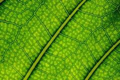 静脉和细胞被观看的一片水多的绿色叶子 免版税库存图片