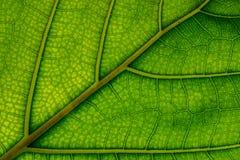 静脉和细胞被观看的一片水多的绿色叶子 图库摄影