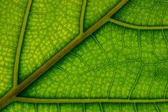 静脉和细胞被观看的一片水多的绿色叶子 库存照片