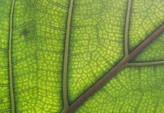 静脉和细胞被观看的一片水多的绿色叶子 免版税库存照片