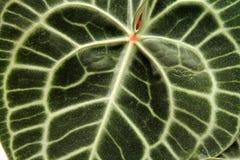 静脉样式的特写镜头在一片大绿色叶子的 免版税库存图片
