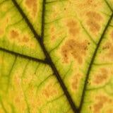 静脉的接近的叶子 免版税库存照片