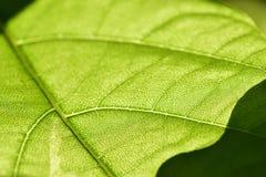 静脉的接近的绿色水平的叶子 图库摄影