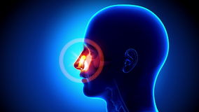 静脉窦-鼻子-痛苦概念 库存例证