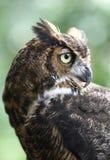 静音极大的猎人的猫头鹰 图库摄影