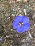 靛蓝野花Blossum 免版税图库摄影