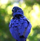 靛蓝金刚鹦鹉的后面羽毛 库存照片