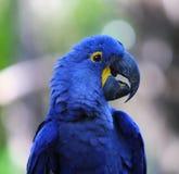 靛蓝金刚鹦鹉的画象 免版税库存照片