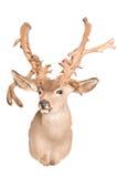 非典型的鹿角配置 免版税库存照片