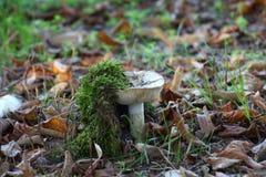 非可食的白色蘑菇 免版税库存图片