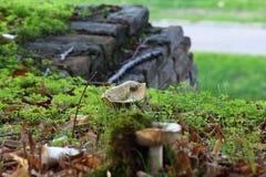 非可食的白色蘑菇 免版税库存照片
