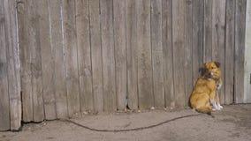 非家谱棕色狗坐在木篱芭 在链子的Uncontented动物 在背景的高木灰色fecne 影视素材